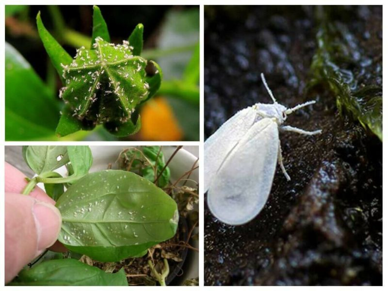 Белокрылка на домашних растениях: эффективные способы избавления от вредителей