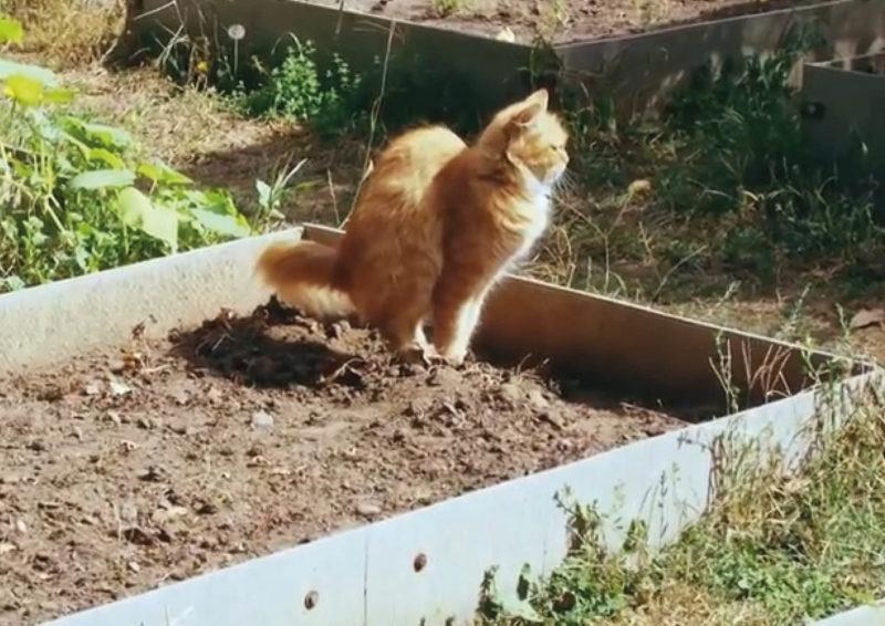 Способы борьбы с котами, которые устраивают туалет на ваших грядках