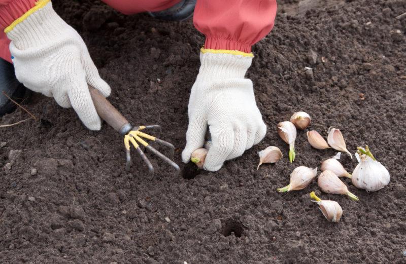 Как правильно посадить озимый чеснок, чтобы собрать летом богатый урожай