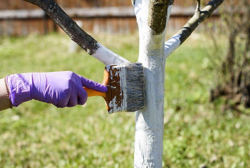 Зачем белят садовые деревья: в чем польза этой процедуры