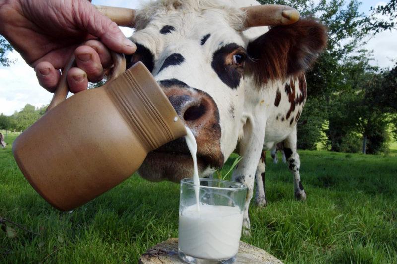 Как избавиться от горького привкуса в коровьем молоке