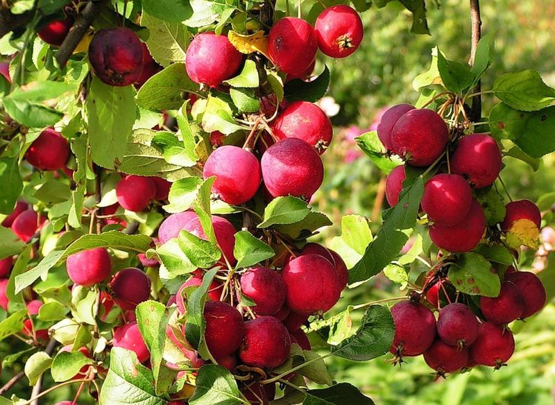 Что особенного в яблоне Китайка Керр: как сажать и ухаживать