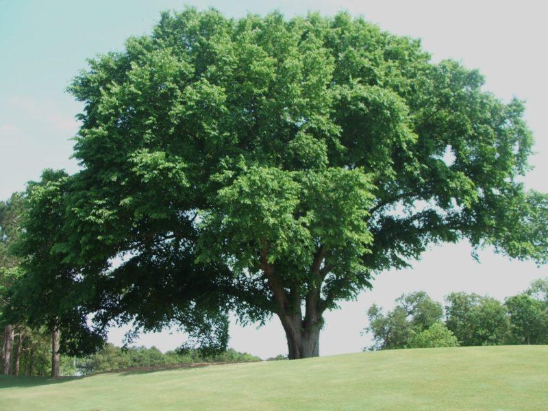 Вяз гладкий (карагач): необыкновенная сила мощного дерева