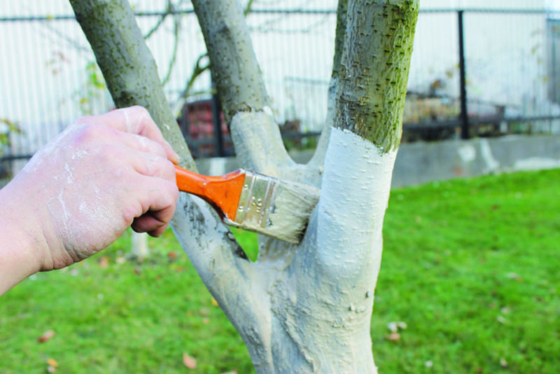 Побелка фруктовых деревьев: в какое время года это лучше делать, весной или осенью