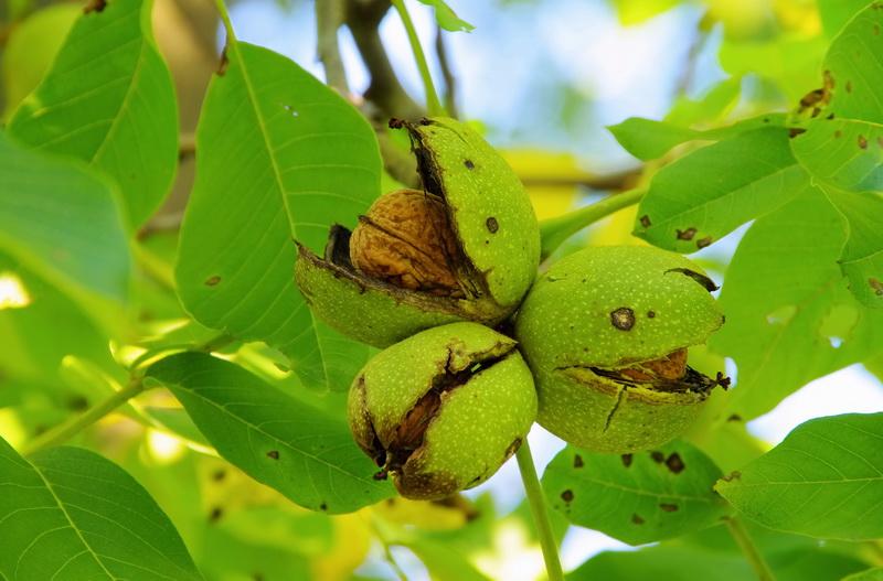 Как вырастить дома грецкий орех