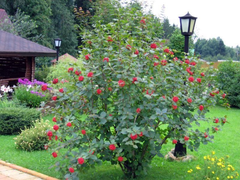 Калина на даче: особенности выращивания и польза растения