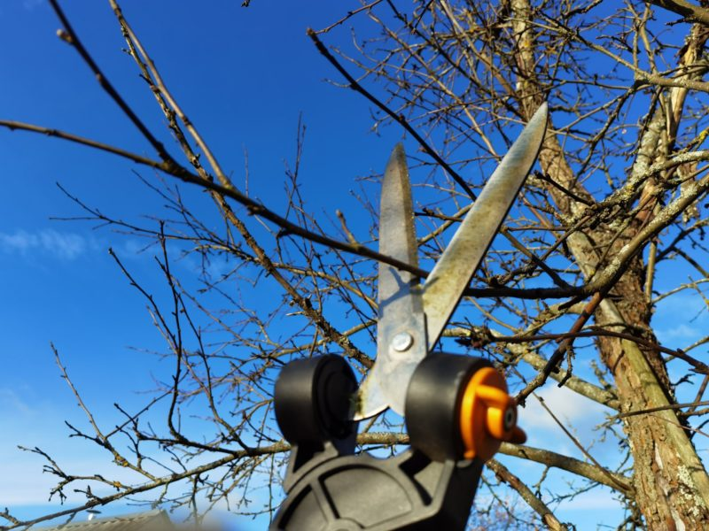 Как обрезать яблоню осенью. Советы для начинающих