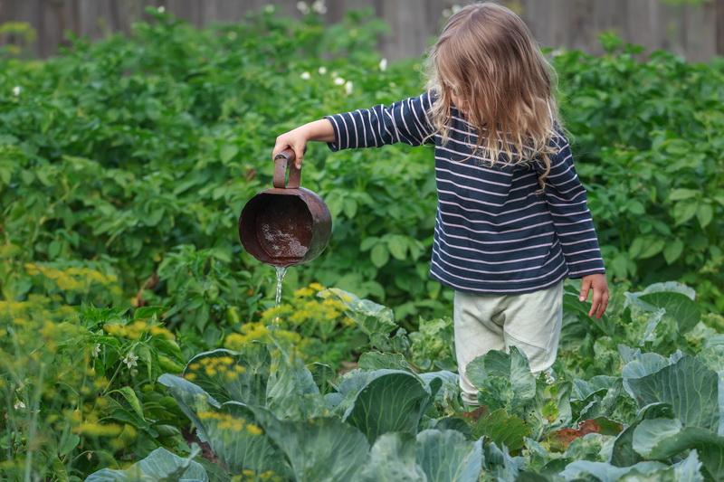 Пожелтение молодых кочанов капусты: 5 основных причин и способы профилактики