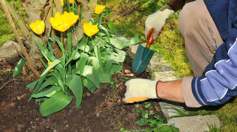 Поменяют ли свой цвет тюльпаны, если посадить рядом разные сорта?