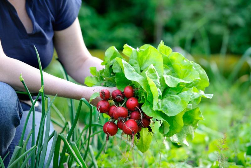 Любителям редиса — секреты непрерывного выращивания на протяжении всего лета