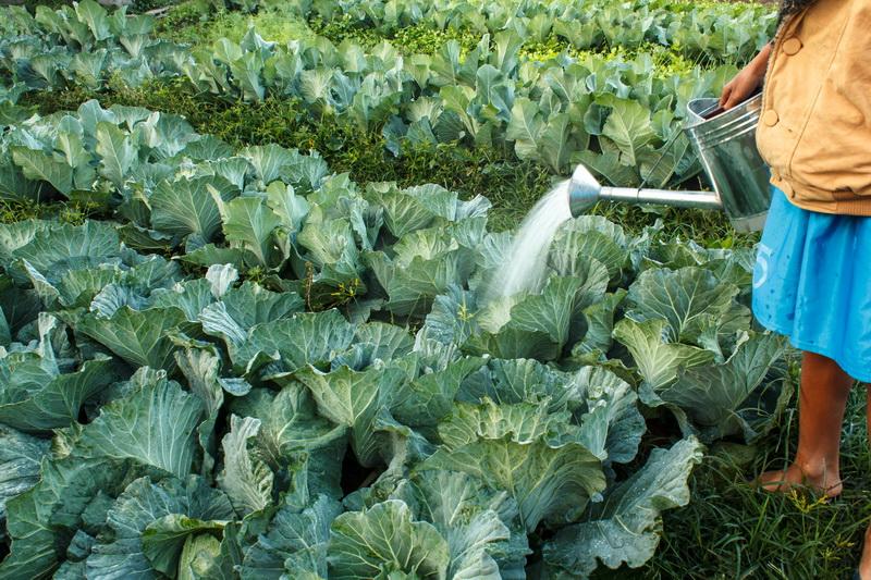 Свежая капуста — как сохранить до весны