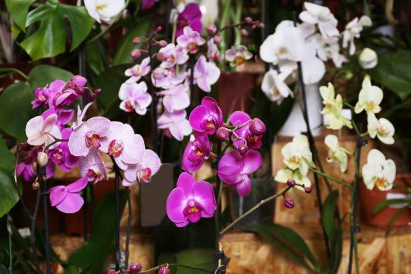 Орхидея — почему она не цветет?