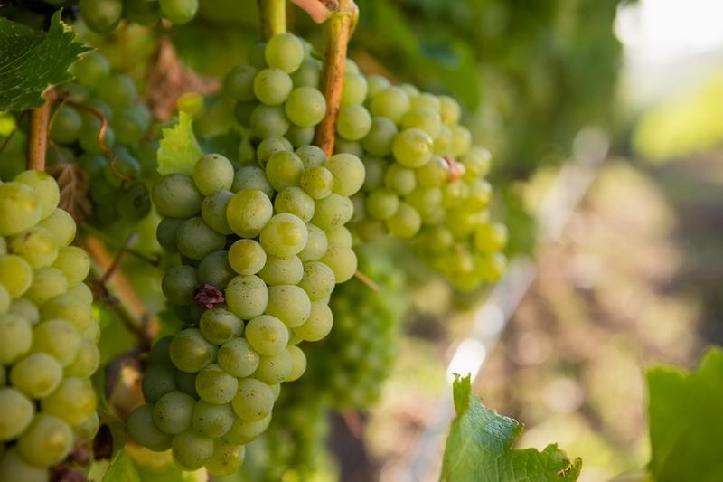 Как правильно сформировать урожайный виноградный куст