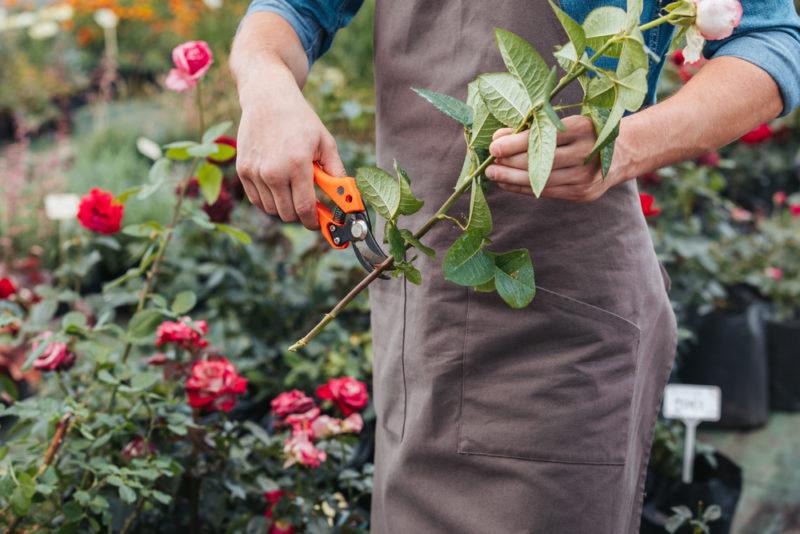 Укоренение розы при помощи картофельного клубня