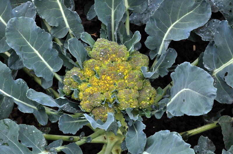 Облако на грядке. 8 лучших сортов цветной капусты