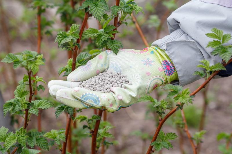 Почему малина не дает ягод, и что предпринять для повышения урожайности