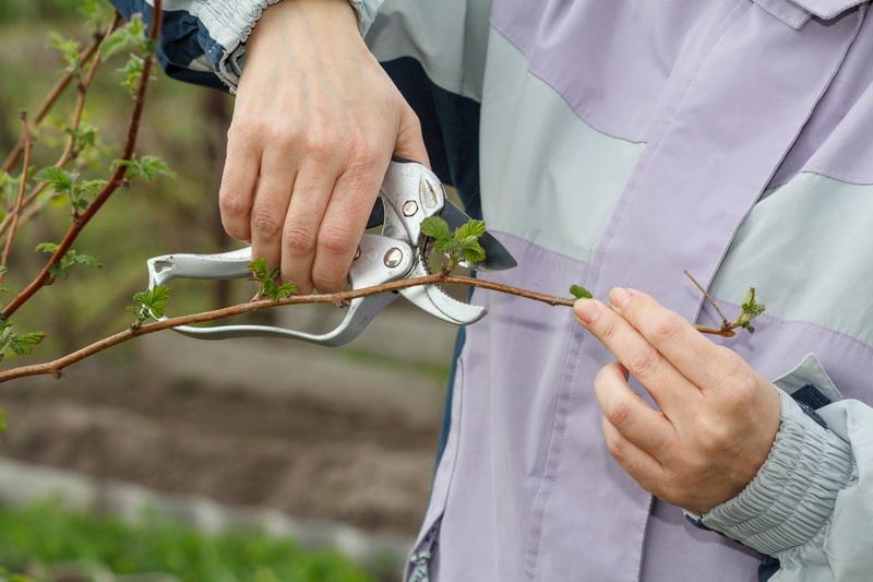 Основные правила осенней обрезки малины