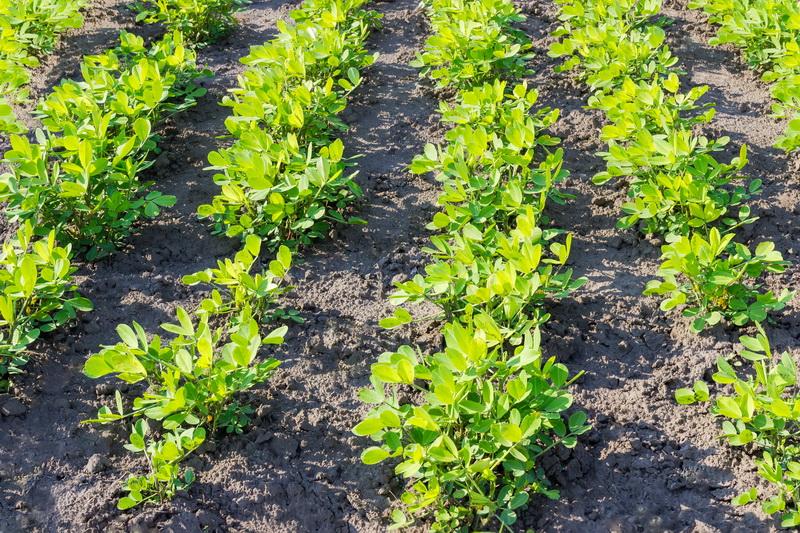 Как правильно выращивать у себя на огороде земляной орех — арахис