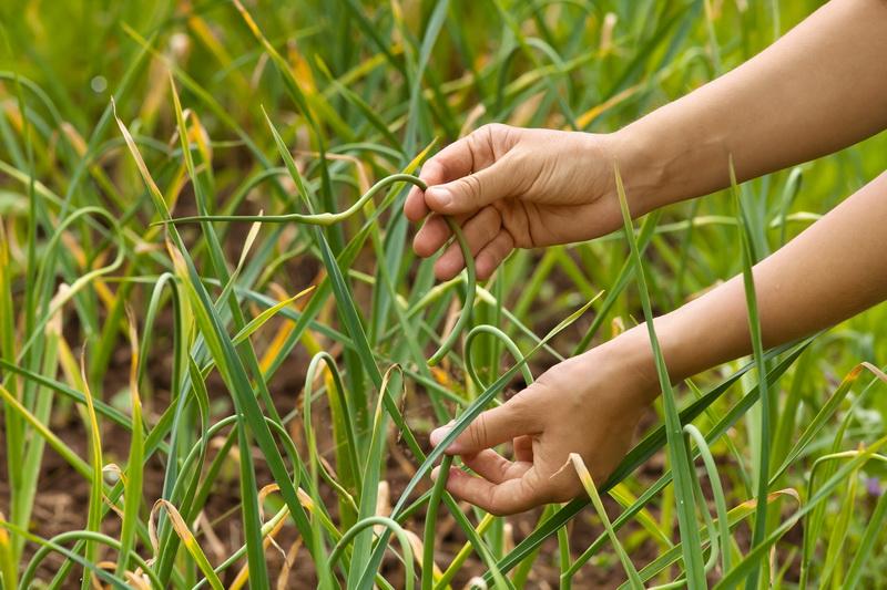 Причины пожелтения листьев лука и чеснока
