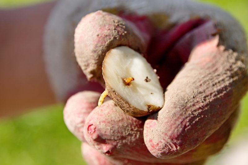 Проволочник на картофеле: основные способы борьбы с вредителем