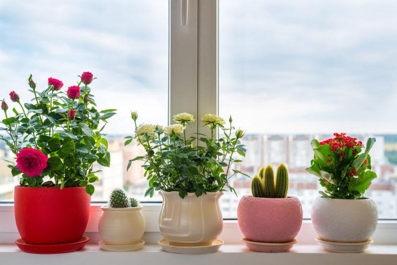 Розы на подоконнике: правила ухода для длительного и обильного цветения