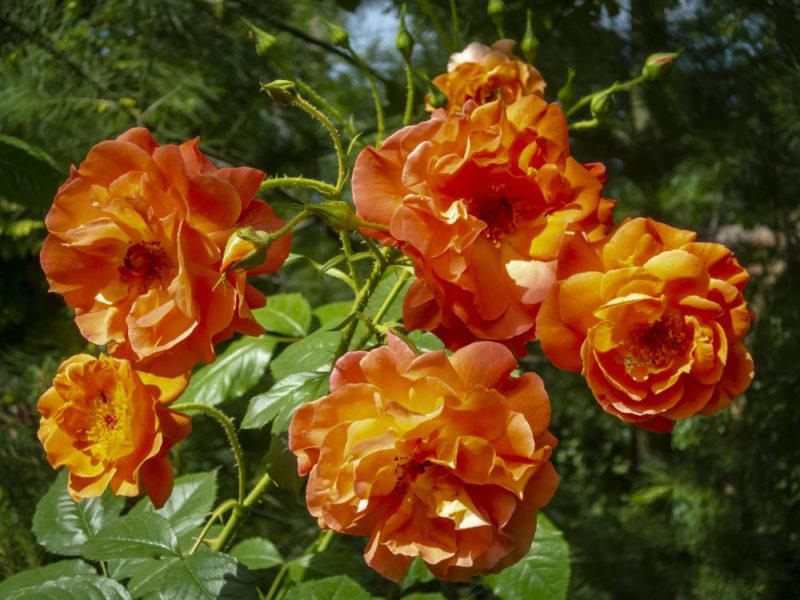 Размножение роз осенними черенками
