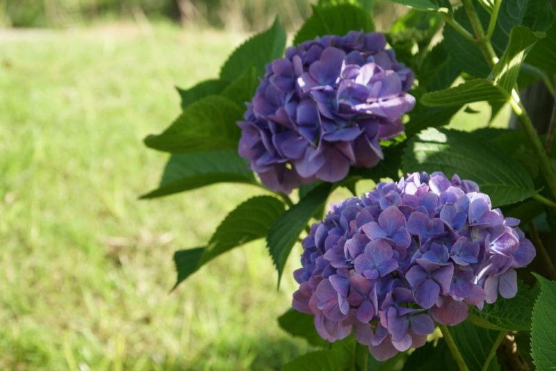 Раскрываем секреты шикарного цветения гортензии. Советы опытных садоводов