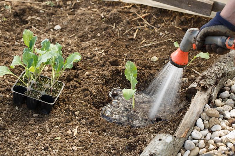 Выращиваем цветную капусту в открытом грунте
