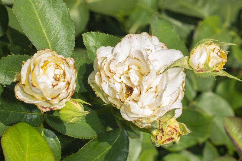 Самые распространенные заболевания роз: признаки, методы борьбы