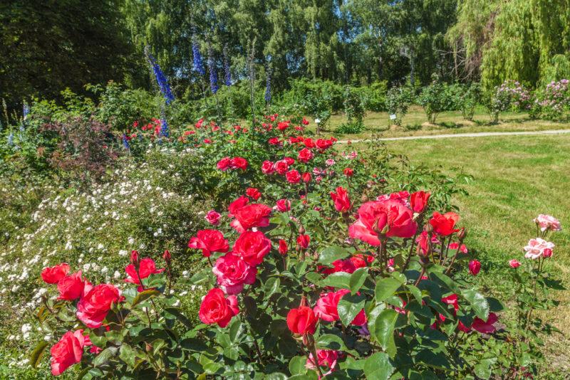 Как правильно раскрывать розы ранней весной