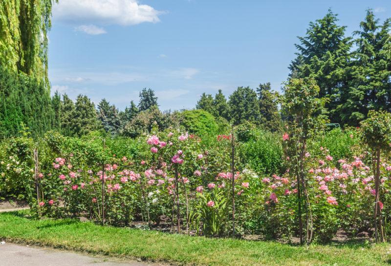 Формирование штамбовой розы самостоятельно — правила осуществления процедуры