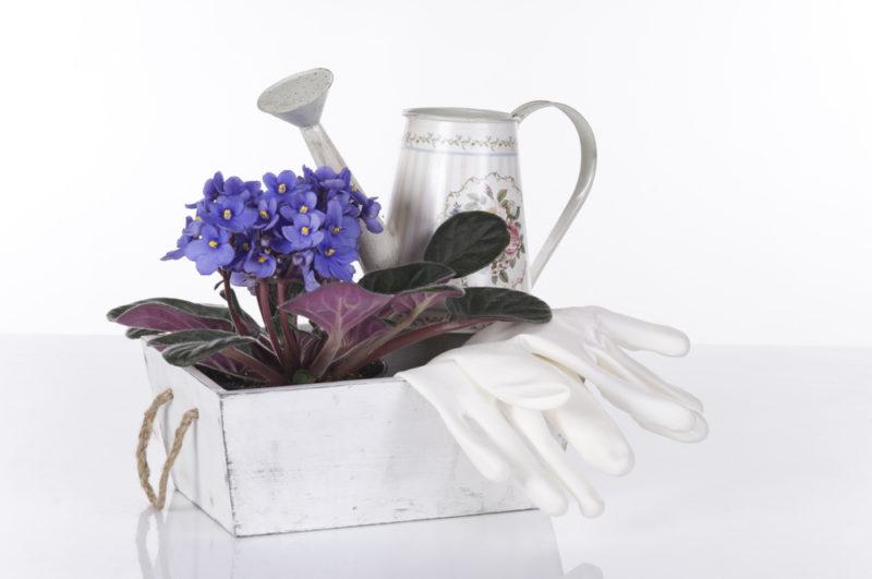 Омолаживаем старую фиалку: советы опытных цветоводов