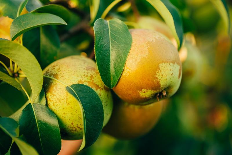 Рекомендации по правильной посадке груши для быстрого получения урожая