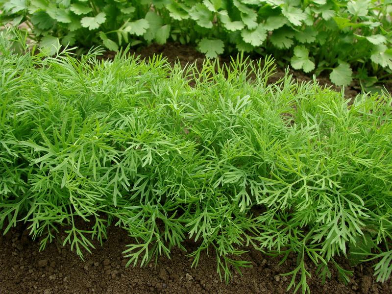 Почему нужно отдельно сажать лук на зелень и лук на головку — 3 причины, о которых нельзя забывать
