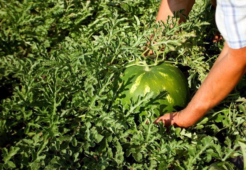 Нюансы правильного выращивания арбузов и дынь