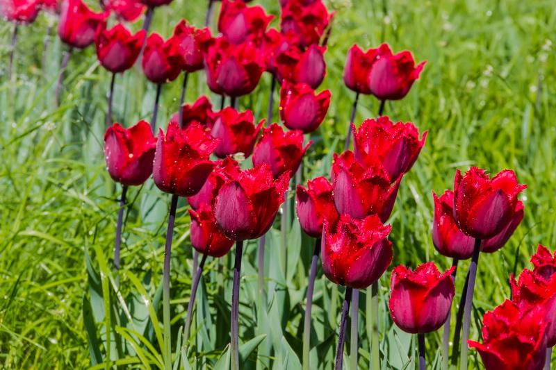 Все, что вы хотели знать о тюльпанах — полезная информация для цветоводов