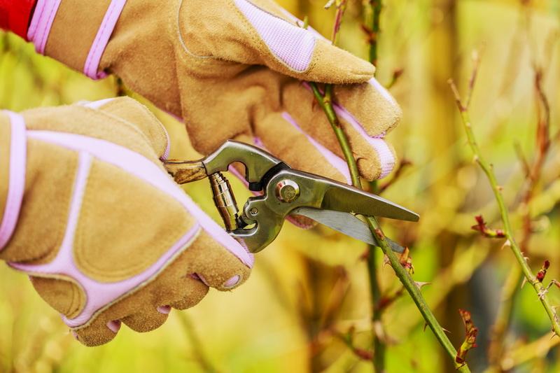 Как черенковать розы — 7 советов