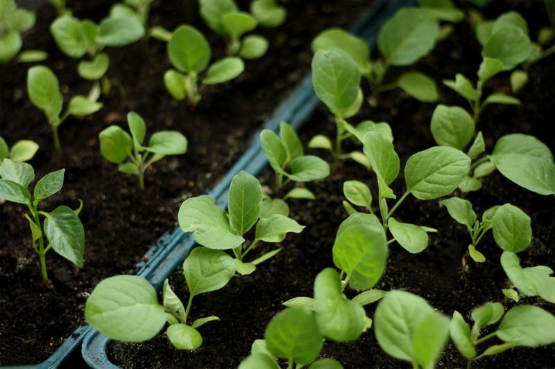 Правильный уход за рассадой — секрет отличного будущего урожая