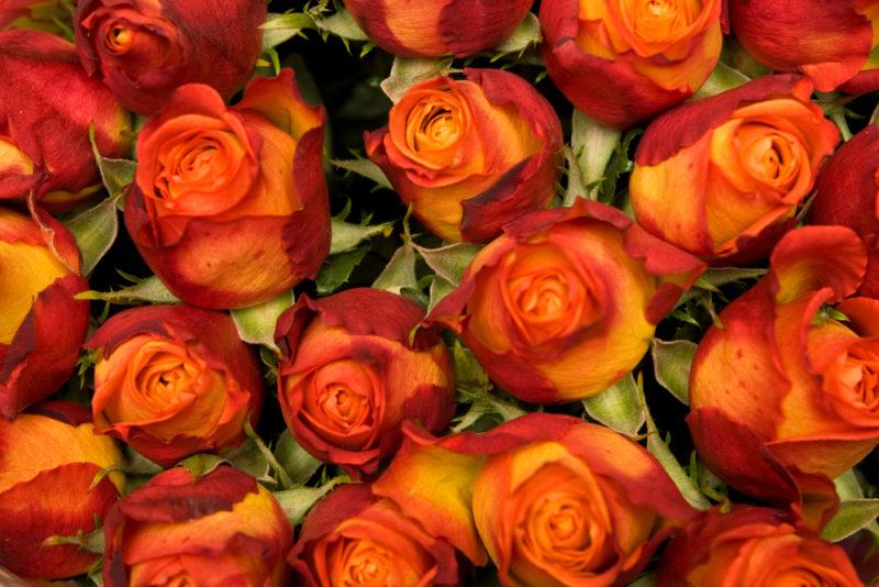 5 неприхотливых сортов роз, с которыми справится даже новичок