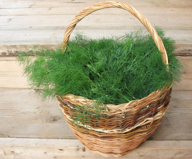 Душистый зеленый укроп: выбор сорта и особенности выращивания