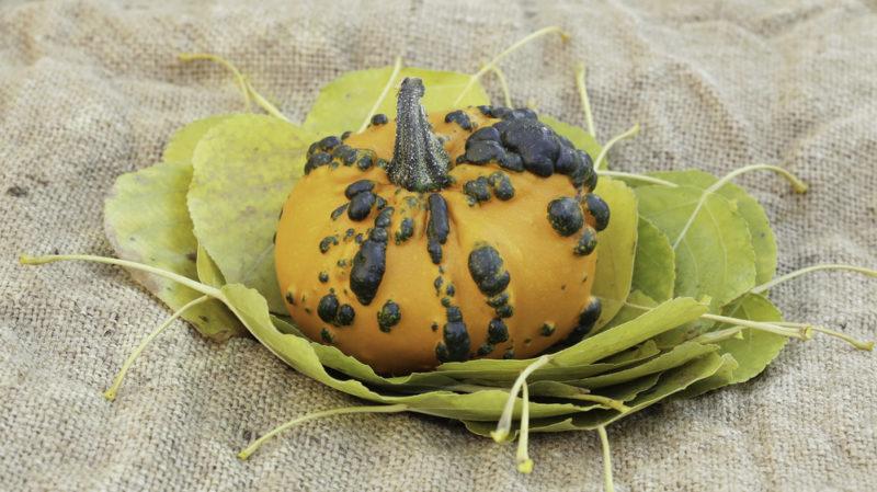 3 болезни, представляющие опасность при хранении кабачков и тыквы