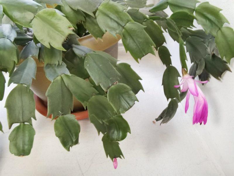 Шлюмбергера, или декабрист, — чем подкормить растение