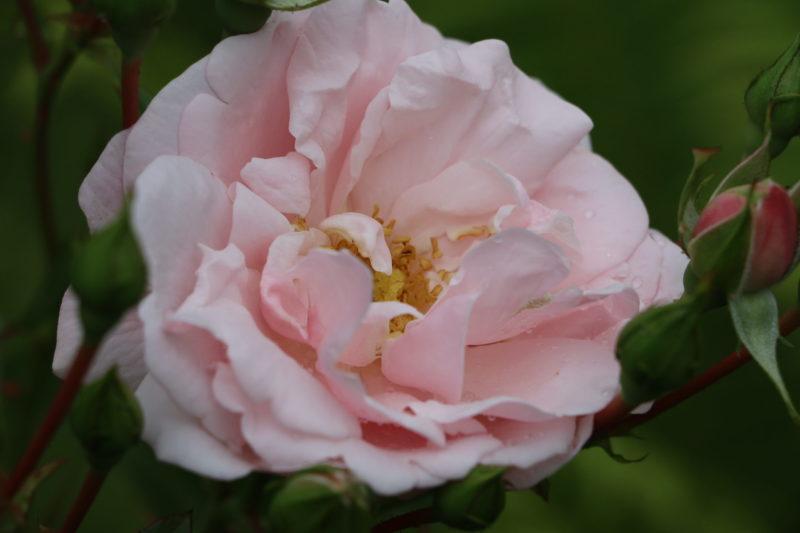 Розы для Подмосковья и средней полосы: самые красивые ранние сорта