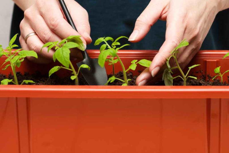 Как защитить рассаду от болезней: 5 несложных способов профилактики, которые пригодятся огороднику