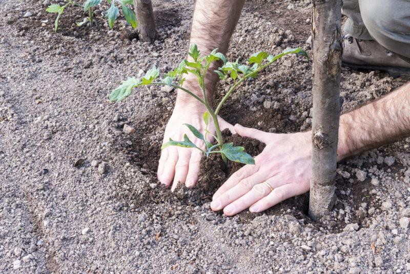 Здоровье томатов, их активное развитие и высокий урожай гарантирует квадратно-гнездовой способ посадки