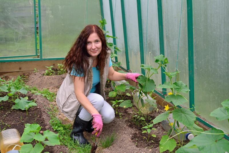 Наиболее частые ошибки, допускаемые огородниками при выращивании огурцов в теплицах