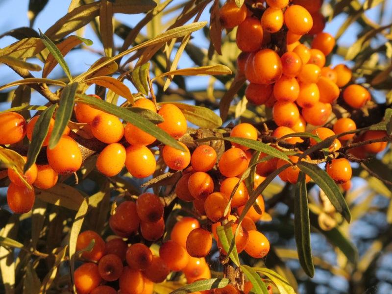 Скороплодность, что это и каким растениям свойственно
