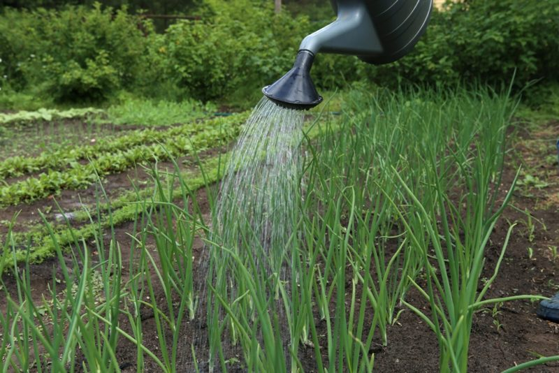 Правильная подкормка чеснока и лука — гарантия хорошего урожая