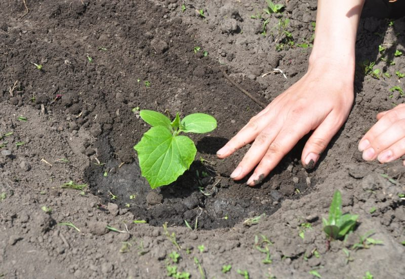 Богатый урожай огурцов по новому методу