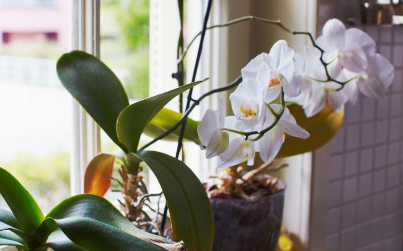 Использование спящих почек для размножения орхидеи: 2 эффективных способа